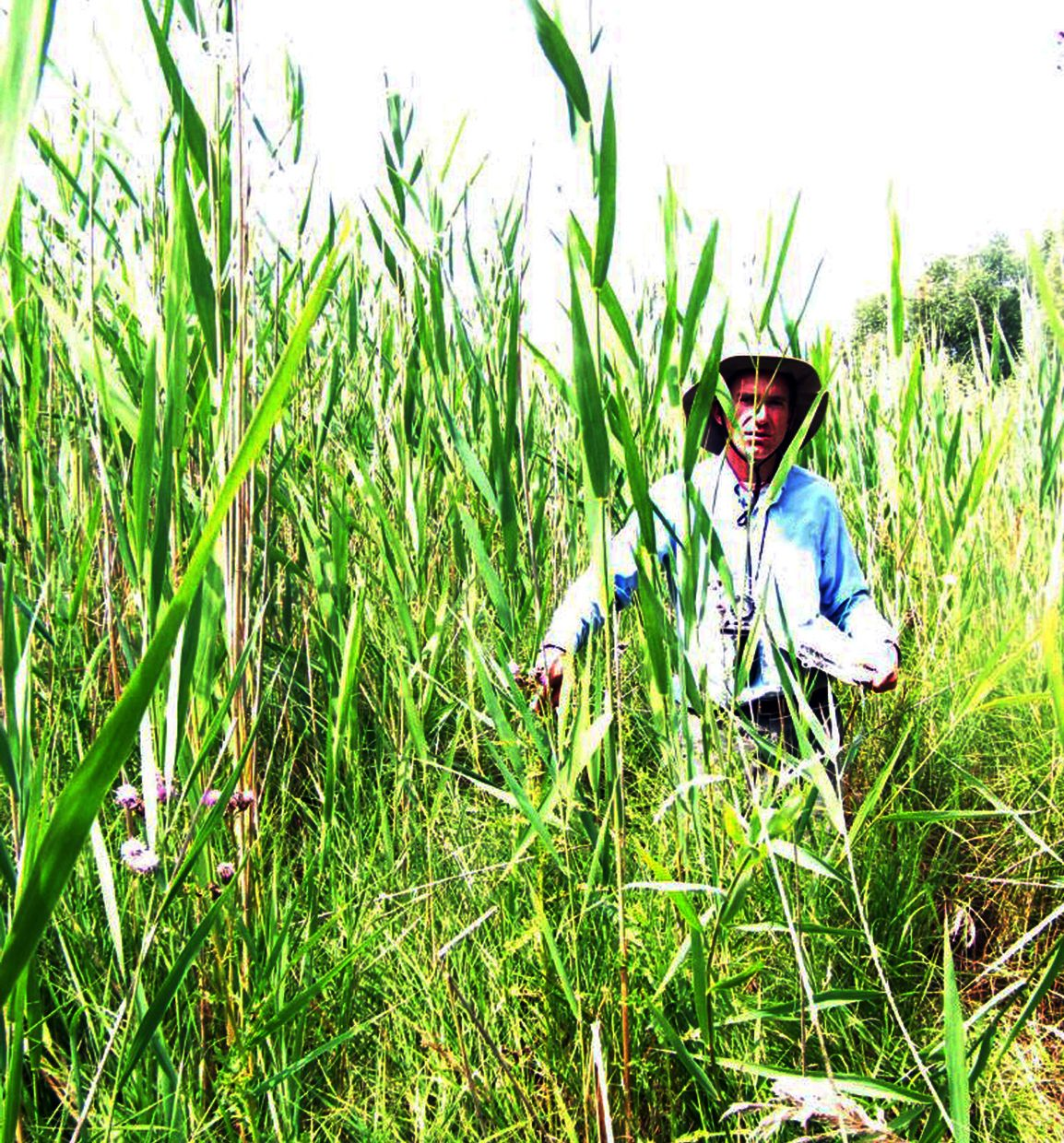 The invasive European Common Reed, or Phragmites, is Canada's 'worst invasive plant species' but volunteers along the Lake Huron shoreline are helping to fight it.